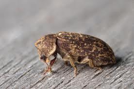 Ölüm Saati Böceği (Xestobilum rufovillosum