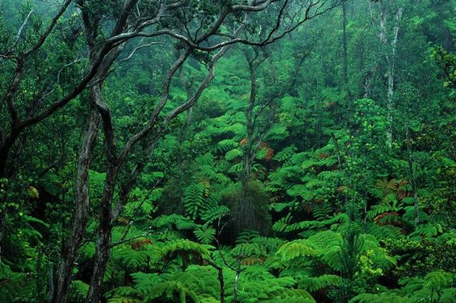 Big Island, Hawaii Volcanoes National Park, Fern ohia forest environment A24G