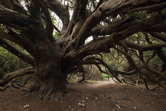 Ancient Yew Tree, Kingley Vale NNR